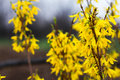 Forsythia close up of springtime in bloom Stock Photos