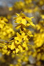 Forsythia digital photo of blooming forsythias Stock Images