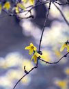 Forsythia flowe Royalty Free Stock Photography