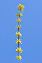 Forsythia flowers on blue sky Stock Photo
