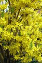 Forsythia flowers close up of in a garden spring saarland germany Stock Photos