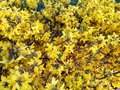 Forsythia flowers decorative yellow flower bush in full blossom Stock Image