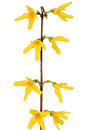 Forsythia flowers on white background isolated Royalty Free Stock Images