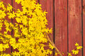 Forsythia in full bloom on red background Royalty Free Stock Photo