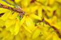 Forsythia in full bloom yellow flowers Stock Photography