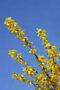 Forsythia and Sky Royalty Free Stock Image
