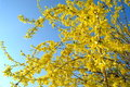Forsythia suspenza is blooming decoration in spring garden Royalty Free Stock Images