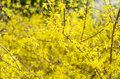 Forsythia x intermedia in blossom in the spring Royalty Free Stock Images