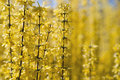 Forsythia yellow blossoms in early spring copy space Stock Images