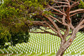 Fort rosecrans national cemetary a nice view of a pine tree at the cemetery at point loma san diego california Royalty Free Stock Photo