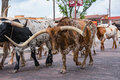 Fort Worth Texas Longhorn Cattle Drive Royalty Free Stock Photo