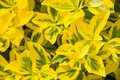 Fortune`s spindle Euonymus fortunei in garden. Detail of emerald golden leaves of wintercreeper.  Close up of yellow and green l Royalty Free Stock Photo