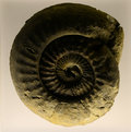Fossil image of an ammonite Stock Images
