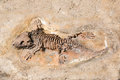 Fossil of prehistoric lizard skeleton on the rock Royalty Free Stock Photo