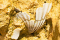 Fossil shell in sandstone cliffs of the algarve in portugal Stock Images