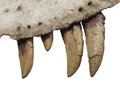 Fossil teeth and jaw bone of dinosaur isolated. Stock Image