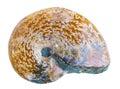 Fossile d'ammonite Photo libre de droits