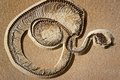 Fossilized snake coiled in death fossil and ready to strike Royalty Free Stock Image