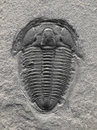 Fossilized trilobite fossil in sedimentary rock Stock Photo