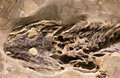 Fossils of amphibian in rock Royalty Free Stock Photo
