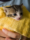Foto di riserva di un gattino dell'isola di Man Fotografie Stock