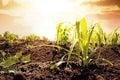 Foto do campo de milho no por do sol Fotos de Stock Royalty Free