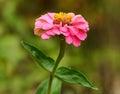 Foto do close up de uma flor cor de rosa Imagens de Stock