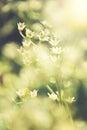 Foto do vintage de flores selvagens no por do sol Imagens de Stock