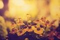 Foto do vintage do campo de flores amarelas no por do sol Foto de Stock