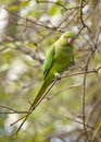 Found in the wilds of inner london a flock green parrots live kensington garden they are offspring parrots that escaped captivity Royalty Free Stock Image
