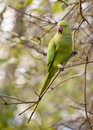 Found in the wilds of inner london a flock green parrots live kensington garden they are offspring parrots that escaped captivity Royalty Free Stock Images