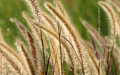 Fountain grass Stock Images