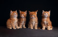 Four adorable red solid maine coon kittens sitting with beautifu Royalty Free Stock Photo
