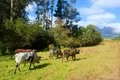 Four African Nguni bulls on pasture walk Stock Image