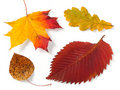 Four autumnal leaves Royalty Free Stock Photo
