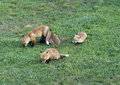 Four Baby Red Foxes Royalty Free Stock Photography