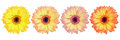 four beautiful gorgeous gerbera flowers isolated on white Royalty Free Stock Photo