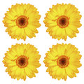 four beautiful gorgeous yellow gerbera flowers isolated on white Royalty Free Stock Photo