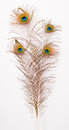Four beautiful peacock feathers bouquet of large group Royalty Free Stock Photography
