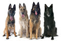 Four belgian shepherds in front of white background Royalty Free Stock Photography