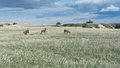 Four bighorn sheep on grassy field Royalty Free Stock Photo