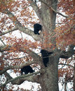 Four black bear cubs climb a tree in smoky mountain national park Royalty Free Stock Photography