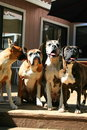 Four Boxer Dogs Stock Photography