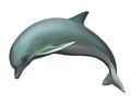 Young Dolphin. Isolated realistic illustration on
