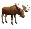 Moose. Adult male elk.Isolated realistic illustrat
