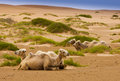 Four camel in desert