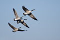 Four canada geese flying in blue sky a clear Royalty Free Stock Image