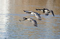 Four Canada Geese Flying Over the Lake Royalty Free Stock Photo