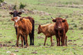 Four cattle brown black farm rio grande do sul brazil Royalty Free Stock Image
