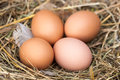 Four chicken eggs lying in the nest of straw